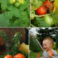 Ostatni dzwonek na pomidory...