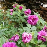 Konfitura z płatków dzikiej róży