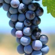 Wino w gronie czyli z wizytą na kalifornijskiej wsi