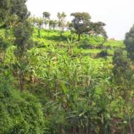 Ugandyjska kawa
