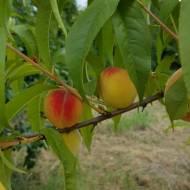 Brzoskwinia zwyczajna – drzewo z pysznymi owocami