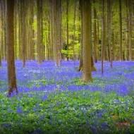 Hiacyntowy las jak z bajki