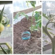 Podlewanie butelkowe pomidorów - taki trik!