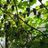 Sok z winogron ciemnych babci Basi