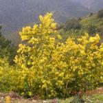Mimoza, przedziwne żółte lasy.
