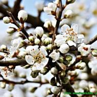 Nalewka z suszonych kwiatów tarniny ( Leczy biegunkę, drogi moczowe ).