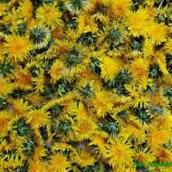 Sposób na pozbycie się robaczków z kwiatów mniszka przeznaczonych na syrop.