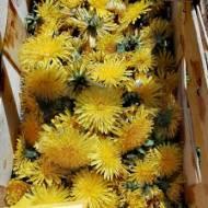 Syrop z mniszka lekarskiego na 400 kwiatków