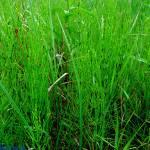 Skrzyp polny - Equisetum Arvense