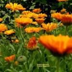 Nagietki - kwiaty słońca (suszenie, olejek nagietkowy)