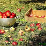 Nalewka jabłkowa.