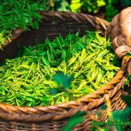 Zielona herbata przeciw starzeniu ( picie tej herbaty opóźnia proces starzenia się ).