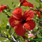Herbatka z kwiatów hibiskusa ( łagodny i bezpieczny środek na obniżenie ciśnienia ).