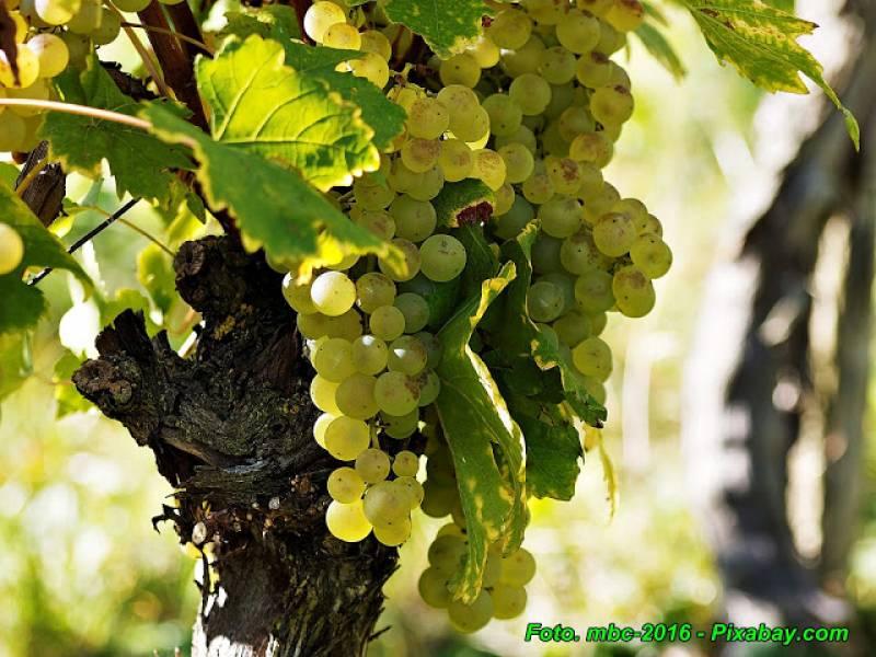Nalewka z białych winogron.