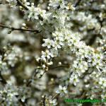 Nalewka z suszonych kwiatów tarniny ( działa napotnie, wykrztuśnie )