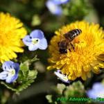 Zdrowy syrop z kwiatów mniszka lekarskiego ( na cukrze trzcinowym ).