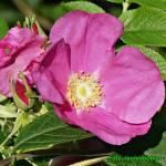 Nalewka z płatków róży cukrowej.