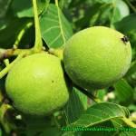 Nalewka orzechówka ( z zielonych orzechów włoskich i cytrusów ).