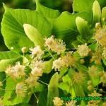 Nalewka ze świeżych kwiatów lipy ( na miodzie ).