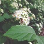 tawuła i pszczoła