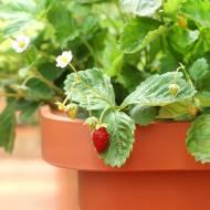 Własny ogródek na balkonie. Prosty deser z owocami.