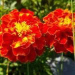 Aksamitka – Kopciuszek w ogrodzie i na balkonie