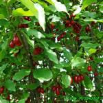 Zdrowotna nalewka z owoców derenia ( doskonała podczas przeziębień ).