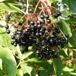 Zdrowotna nalewka z owoców czarnego bzu ( doskonała na przeziębienie ).