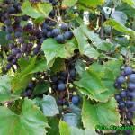 Przepis na zdrowy sok z ciemnych winogron.