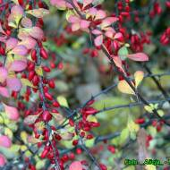 Nalewka z owoców berberysu ( dobra na zaparcia i przeziębienie ).