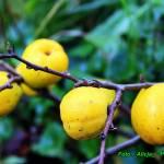 Nalewka z owoców pigwowca japońskiego ( doskonała na jesienno - zimowe chłody ).