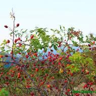 Nalewka z owoców dzikiej róży ( wzmacniająca organizm ).