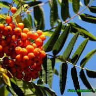 Zdrowotna nalewka z owoców jarzębiny ( wzmacnia serce poprawia trawienie ).