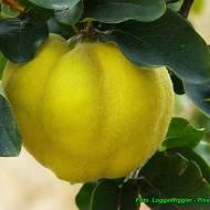 Nalewka na owocach pigwy ( z miodem lipowym ).