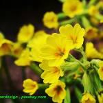 Nalewka na kwiatach pierwiosnka ( doskonała podczas przeziębień ).
