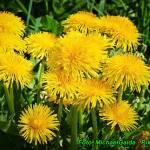 Nalewka z kwiatów Mniszka lekarskiego ( na miodzie ).