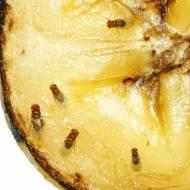 Domowe sposoby na muszki owocówki – pozbądź się ich raz na zawsze!