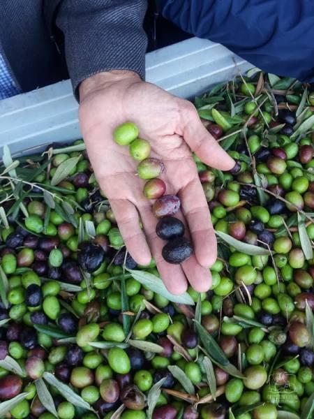 Oliwa mieszana czy jednogatunkowa - która jest lepsza? Co to jest kupaż oliwy? Wywiad z Zefferino Monini