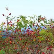 Wszystko o witaminie C oraz dzika róża jako jedno z jej najbogatszych źródeł