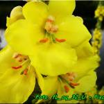 Napar z kwiatów dziewanny ( o działaniu przeciwwirusowym ).