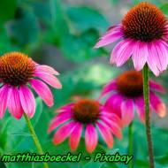 Nalewka z jeżówki purpurowej ( echinacea ) ( Wzmacnia odporność organizmu ).