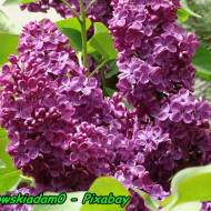 Nalewka na kwiatach bzu - lilaka.