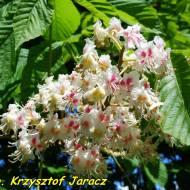 Nalewka z kwiatów kasztanowca.