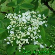 Zdrowotna nalewka na kwiatach czarnego bzu (na miodzie).