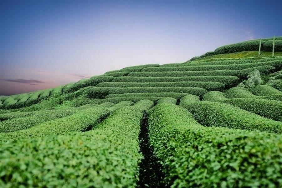 Japońska zielona herbata. Lekcja historii.