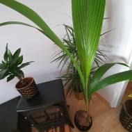 Palma kokosowa - jak uprawiać?