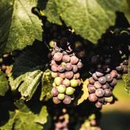 Winnica Łukasz – pomysł na wycieczkę w Lubuskiem