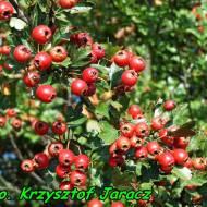 Nalewka z owoców głogu ( słodka, deserowa ).