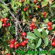Nalewka z owoców dzikiej róży ( z ziołami ).