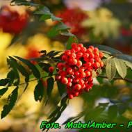 Nalewka z owoców jarzębiny ( z cytryną ).